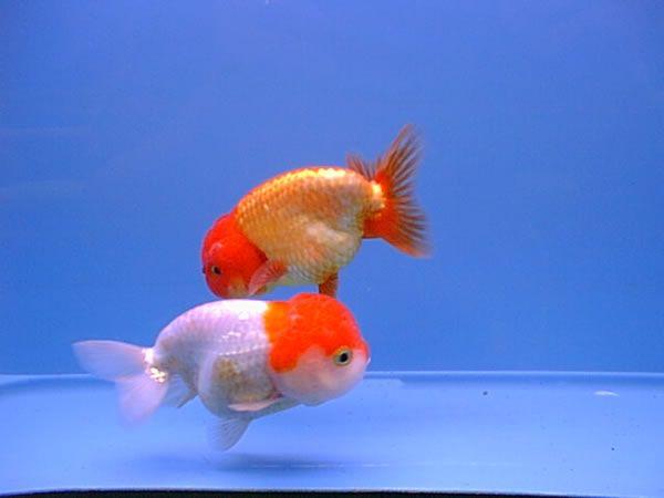 Japanese Goldfish Japanese Ranchu Goldfish Age Of Aquariums Pinterest Japanese Goldfish Goldfish Goldfish Art