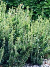 Lierre commun 'Erecta' - Hedera helix - Le Jardin du Pic Vert en 2020 | Lierre, Arbuste, Plante ...