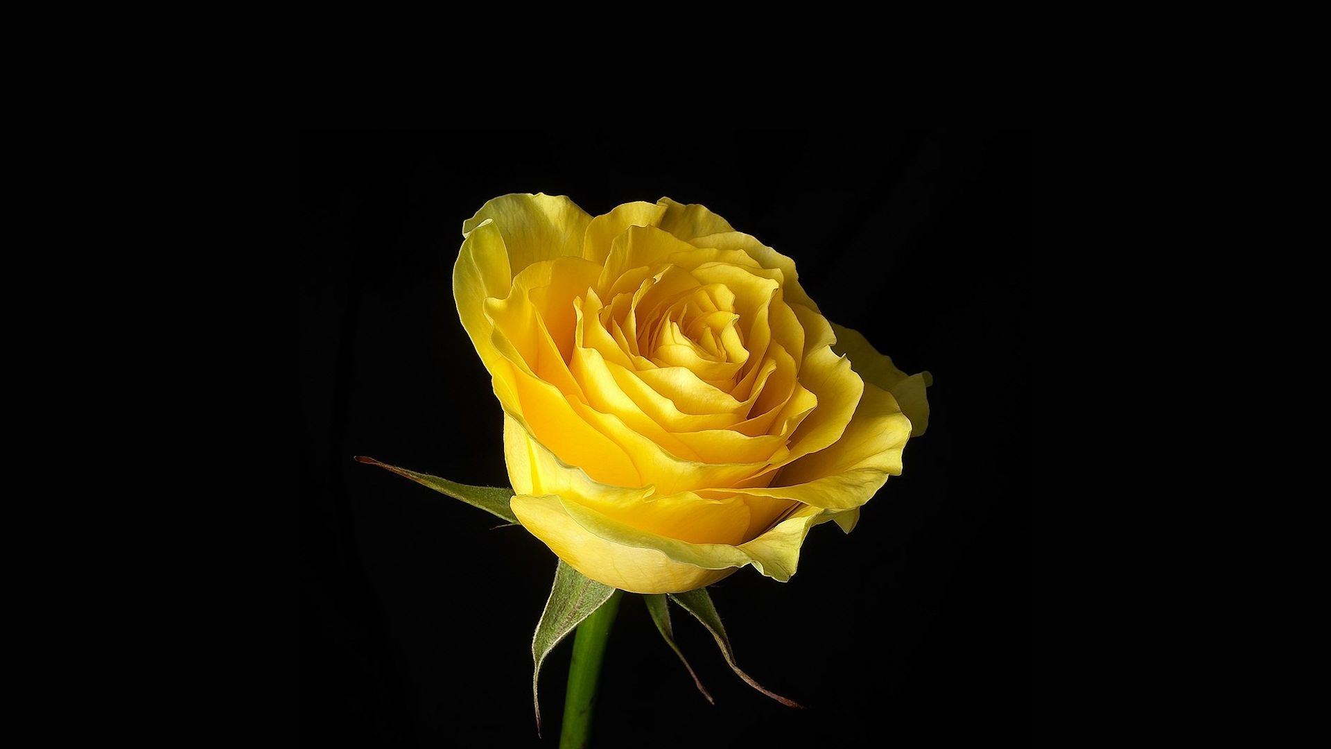 I Close My Eyes Heaven Help Me Yellow Roses Rose Flower Wallpaper Rose Images
