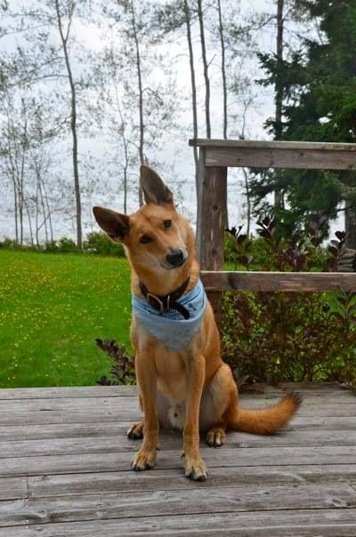Carolina Dog American Dingo Maine This Looks A Lot Like Our