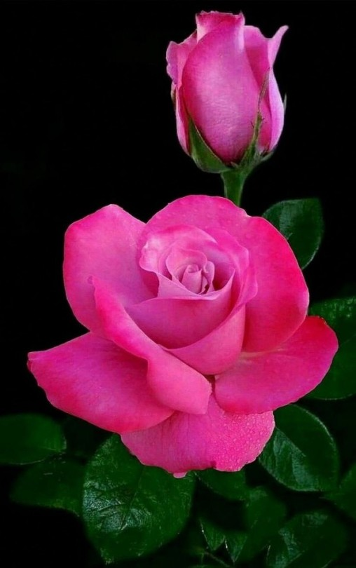 Tumblr Beautiful Rose Flowers Beautiful Roses Beautiful Pink Flowers