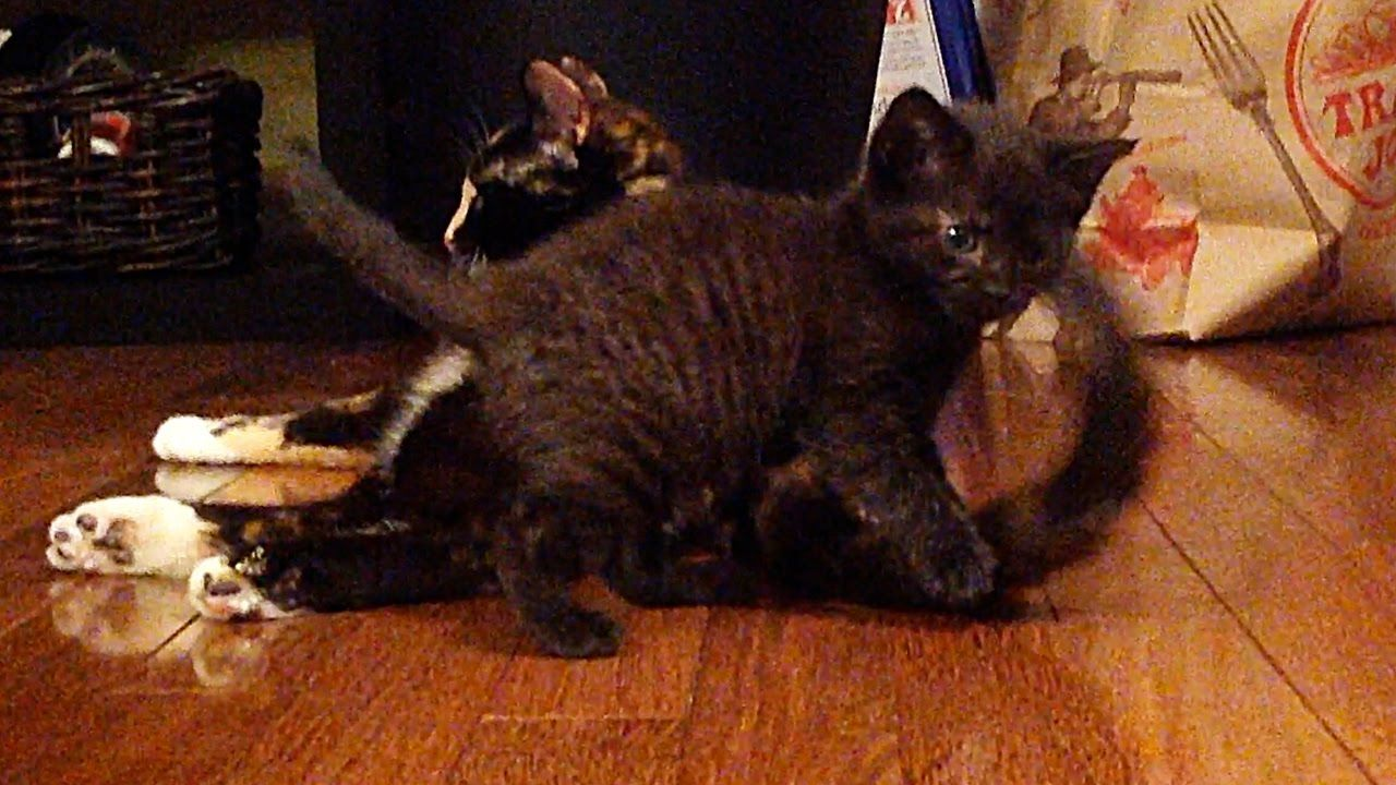 Baby Kitten Plays With Mama Cat S Tail Youtube Mama Cat Kittens Playing Baby Kittens