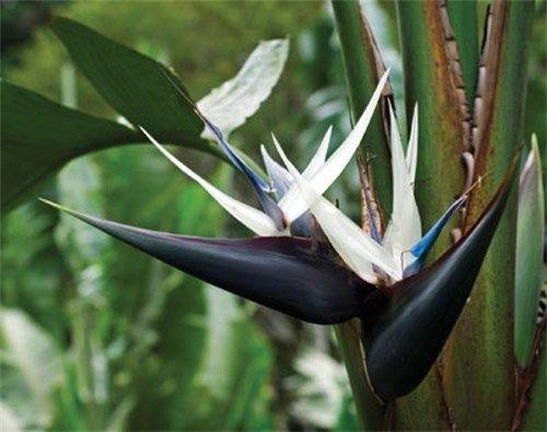 White Bird Of Paradise Strelitzia Nicolai Birds Of Paradise Plant Birds Of Paradise Flower Plants