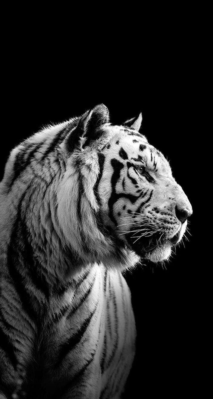 wallpaper iphone tiger: IPhone, Siberian Tiger, Black - Wallpaper