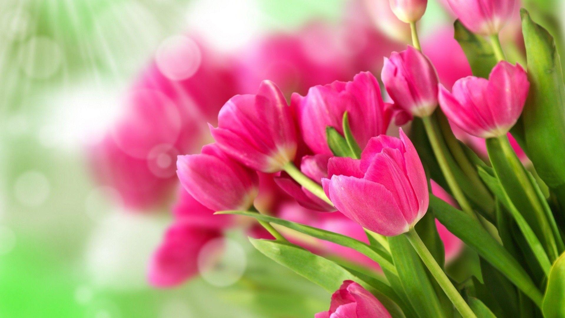 Free Tulip Wallpaper
