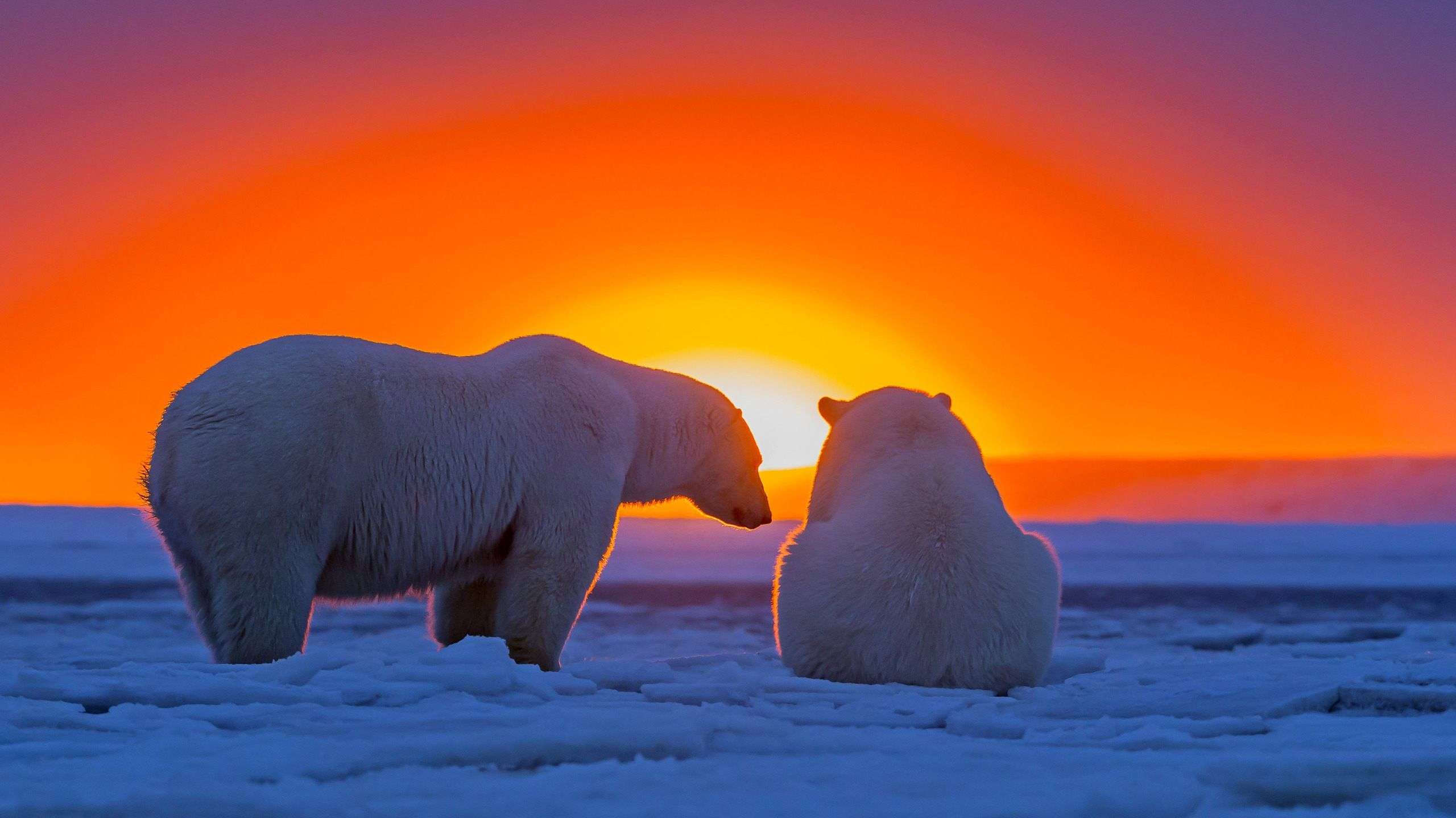 polar bears in alaska sunset wallpaper hd for desktop download