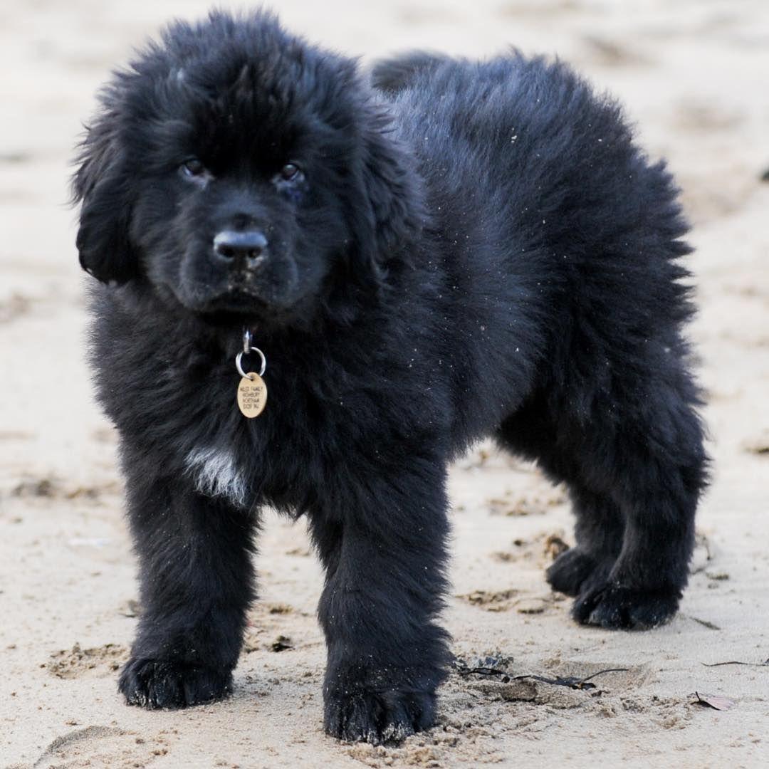 11 Big Fluffy Dog Breeds Perfect To Cuddle With Dogbeast Newfoundland Dog Puppy Big Fluffy Dogs Newfoundland Dog