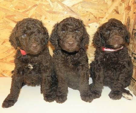 Looking For Guardian Homes For 3 Small Standard Poodle Puppies
