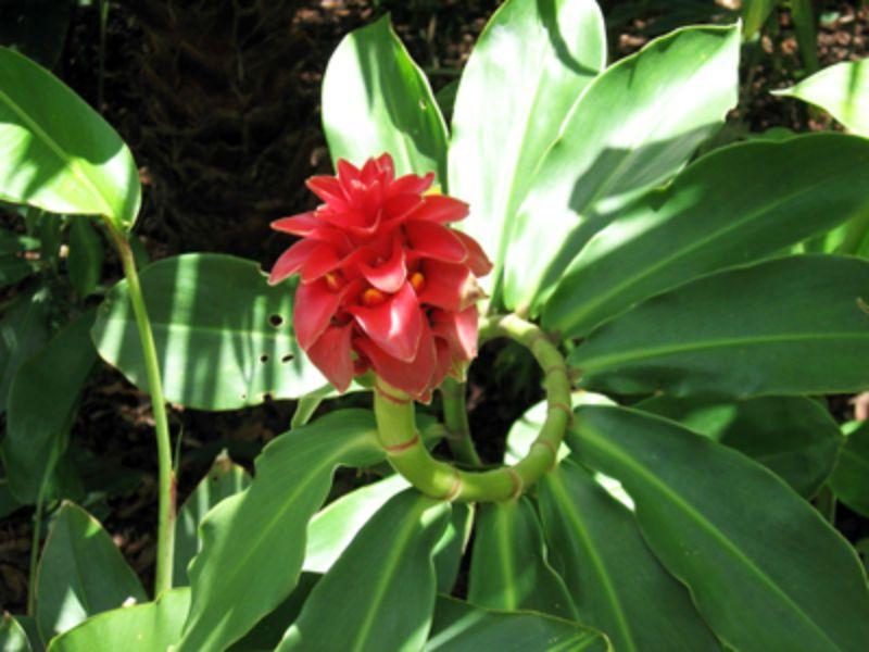 Tapeinochilos Ananassae A Rare Red Wax Ginger Unusual Flowers Flora Flowers Strange Flowers