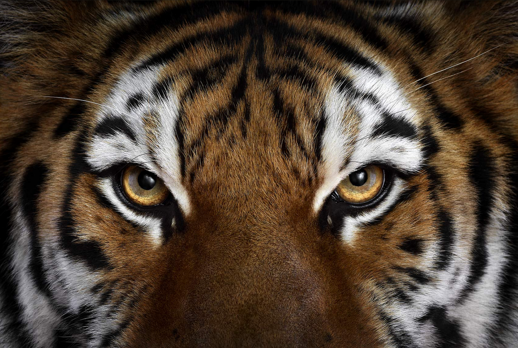 40 Breathtaking Portraits Capture The True Beauty Of Wildlife Tiger Face Angry Tiger Tiger Wallpaper