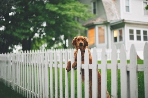 Golden Retriever Animals White Picket Fence Water Dog
