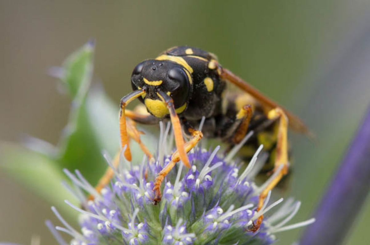 #SPG Paper wasps that lie to their mates get a right kicking research finds