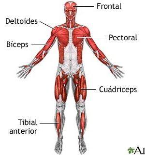 Sistema Muscular Muscular System Muscular System For Kids Myasthenia Gravis