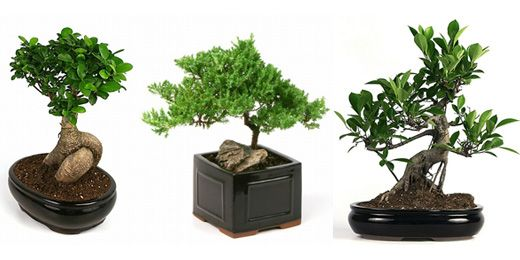 Various Kinds Of Bonsai Trees Unity Candle Alternative Trees