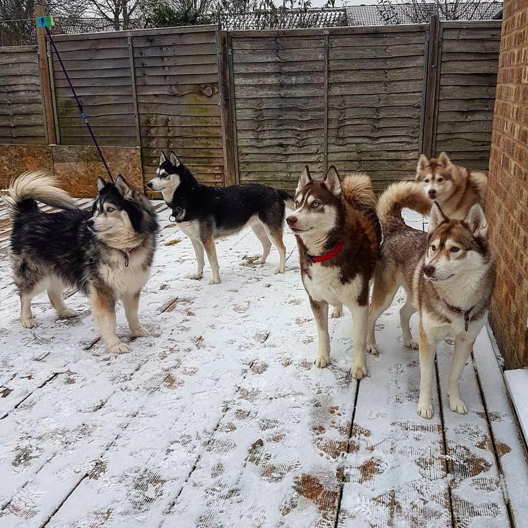 All About Agile Siberian Husky Puppy Siberianhuskyloversunite