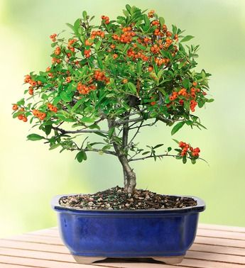 Dwarf Pyracantha Bonsai Bonsai Tree Bonsai Bonsai Seeds