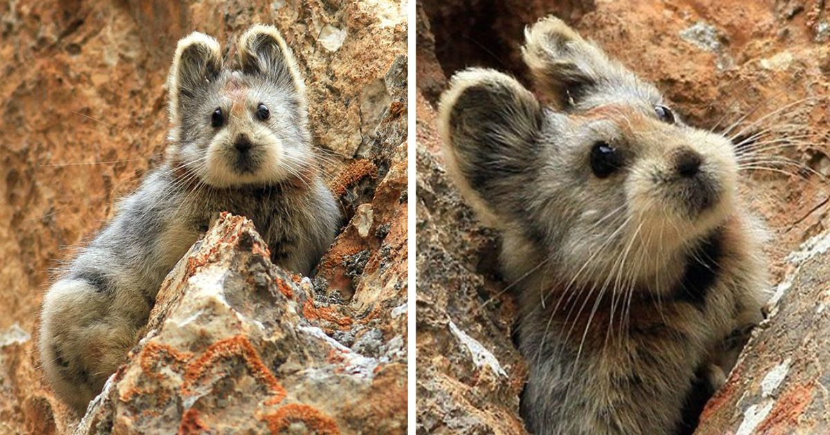 This Rare 'Magic Rabbit' Was Spotted For The First Time In 20 Years And It May Soon Be Lost Forever | Bored Panda
