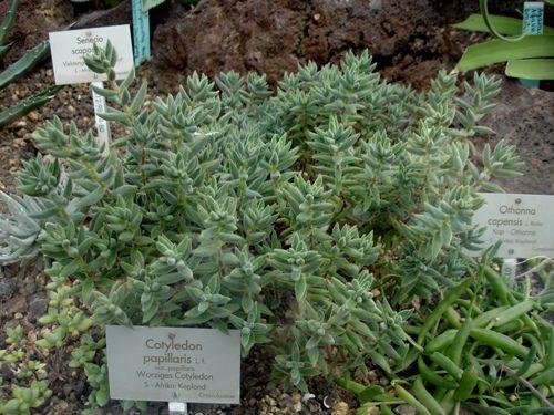 Crassula Mesembryanthemoides Echeveria Plants Succulents