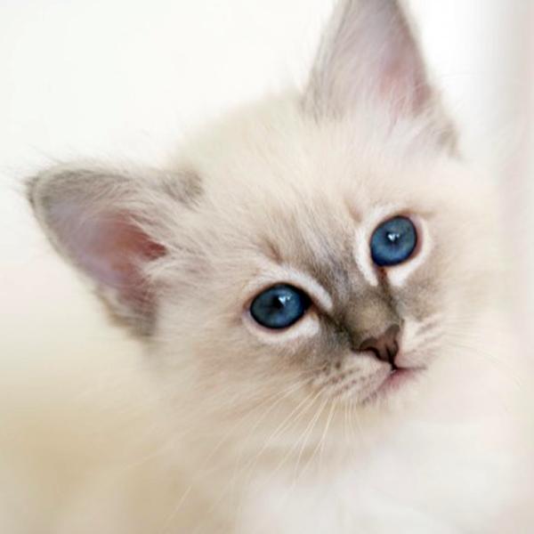 SábaCat Cattery Kittens Birman kittens, Cat breeder, Cattery