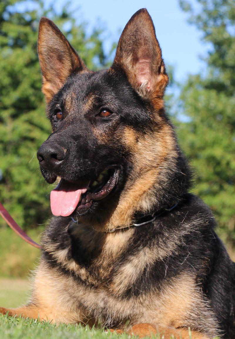 German Shepherd Dogs For Sale Kraftwerk K9 Breeds Champions German Shepherd Dogs German Sheperd Dogs Dogs