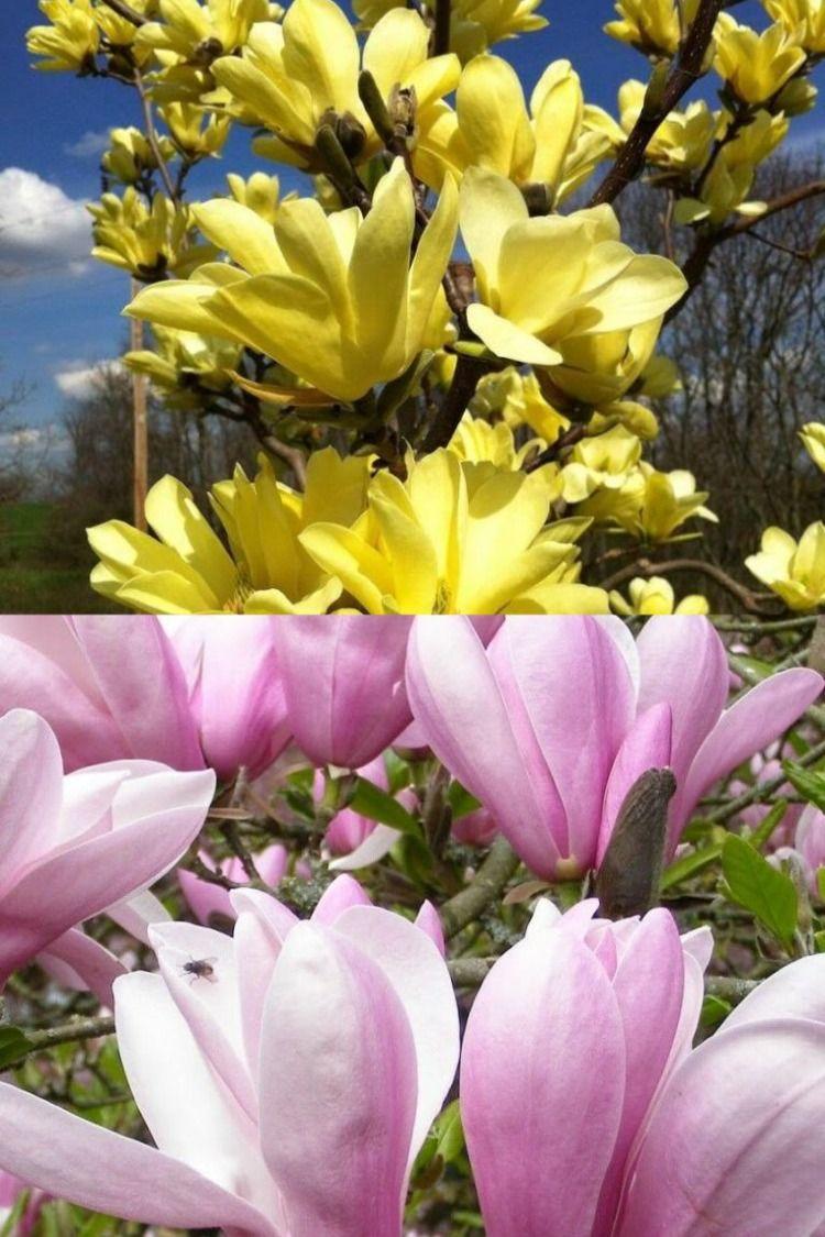 Kwitnace Magnolie Plants