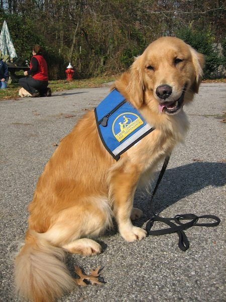 Tiffany The Golden Retriever Therapy Dogs Dogs