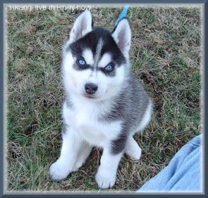 Huskey With Blue Eyes Cute Husky Puppies Siberian Husky