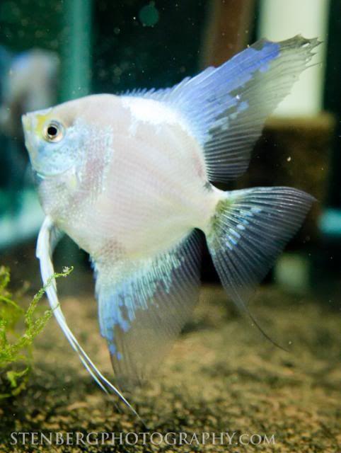 Philippine Blue Angelfish Angel Fish Tropical Freshwater Fish Aquarium Fish