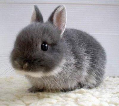 Little grey bun