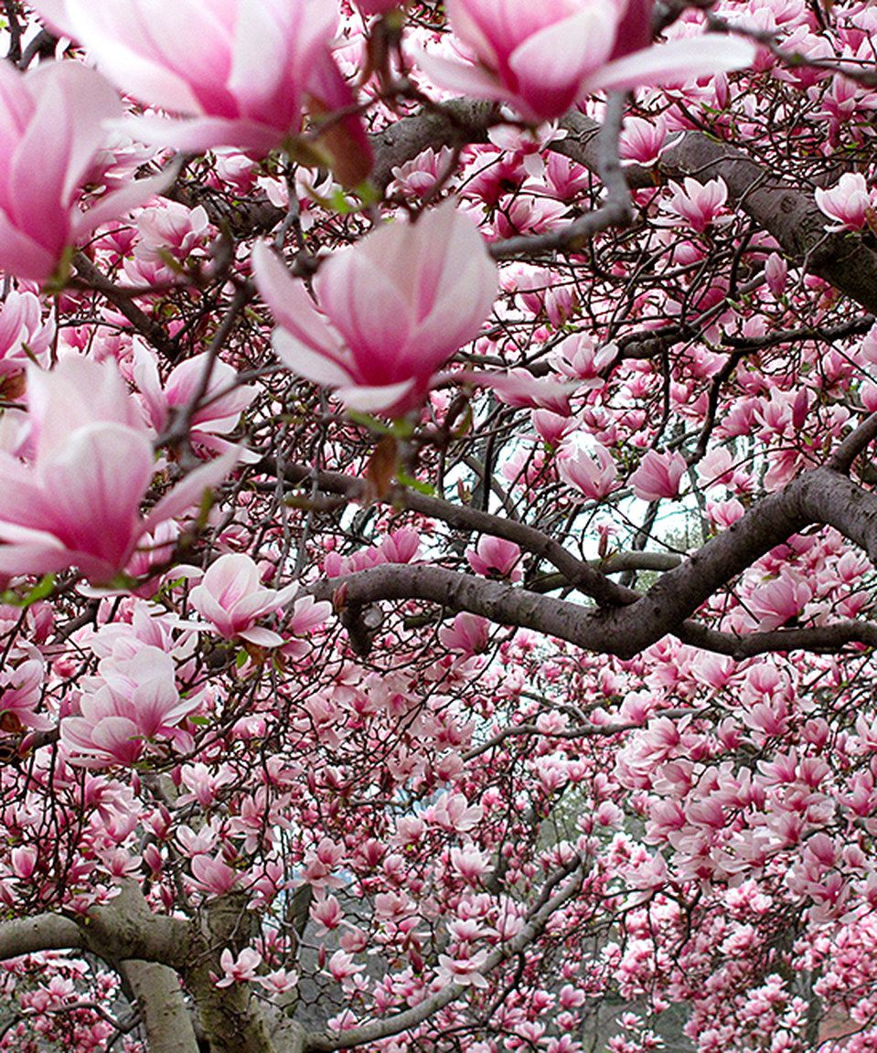 Take A Look At This Live Alexandrina Magnolia Tree Today Violet