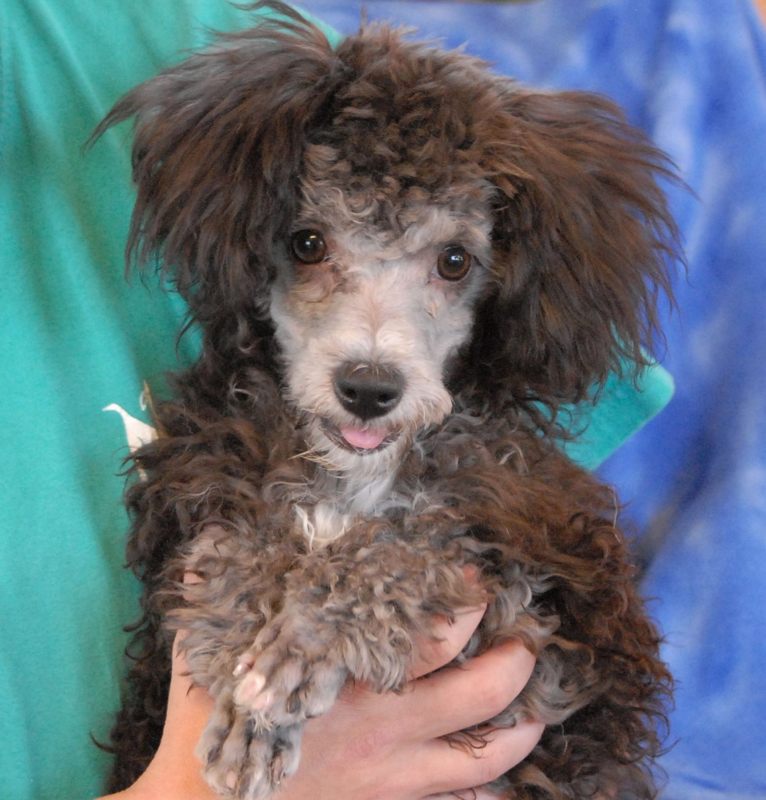 Kama Is A Precious Miniature Poodle Mix Puppy Larger Than Toy Poodles Debuting For Adoption Today At Nevad Poodle Mix Puppies Miniature Poodle Mix Toy Poodle