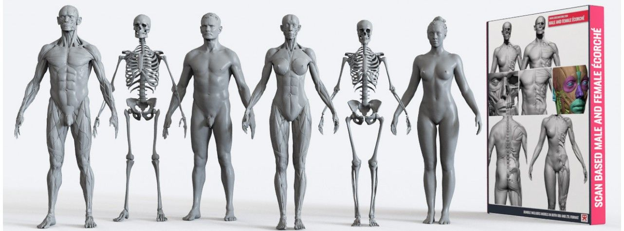 Image Result For Sympathies Ecorche Figures For Artists 3d Anatomy
