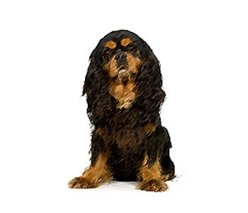 #EnglishToySpaniels are gentle and friendly. It has low energy and is satisfied with short daily walks or short romps. The English Toy Spaniel is good with children and devoted to its family but can be stubborn at times. It's reserved or timid towards other dogs and strangers.