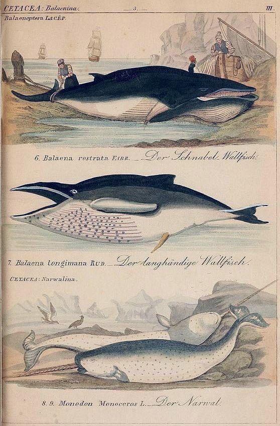 Minke whale, humpback whale, and narwhal (1845-1846).