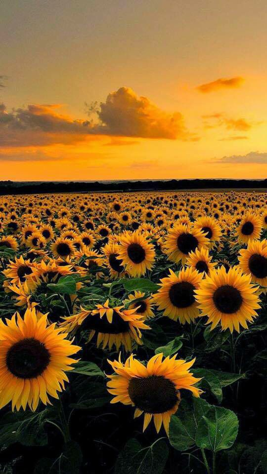 Beautiful sunflowers with orange and yellow sky Nature