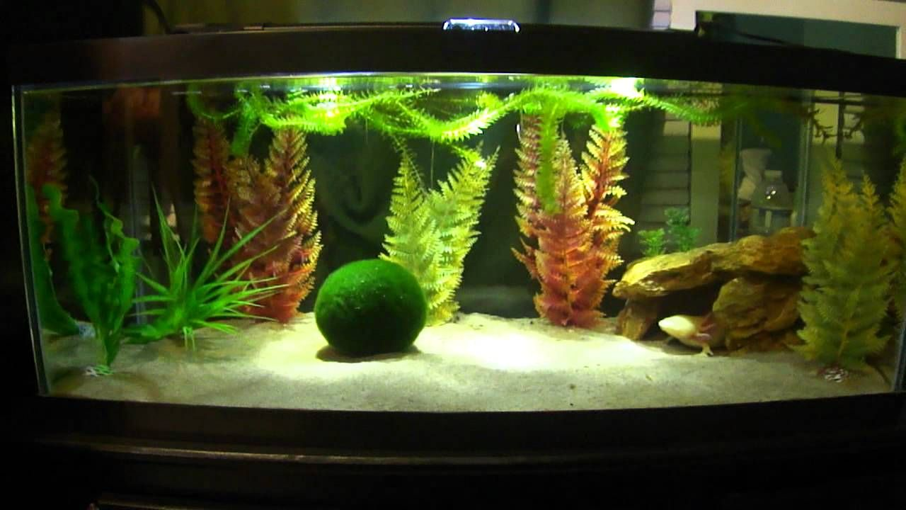 Decoration Aquarium Axolotl : Update new axolotl tank ideas pinterest