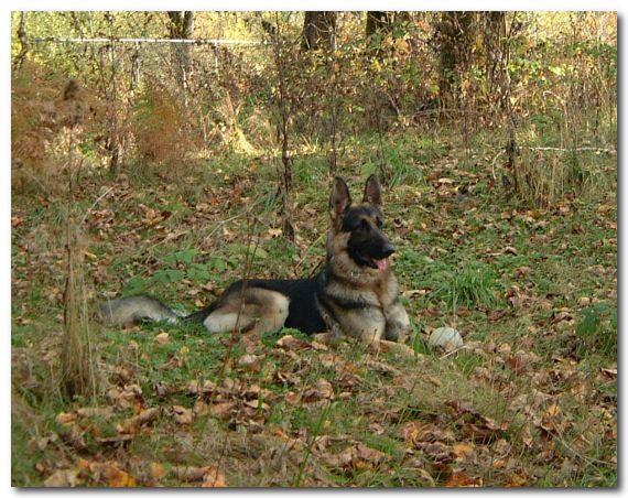 Fonseca German Shepherds Puppies British Columbia German