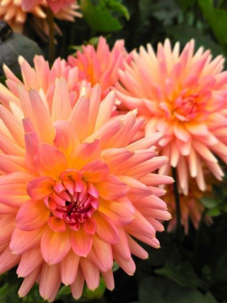 Dahlias of Butchart Gardens #butchartgardens Dahlias of Butchart Gardens #butchartgardens Dahlias of Butchart Gardens #butchartgardens Dahlias of Butchart Gardens #butchartgardens