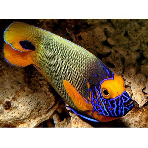Blue Face Angel Pomacanthus Xanthometopon Ocean Creatures Sea Fish Marine Fish