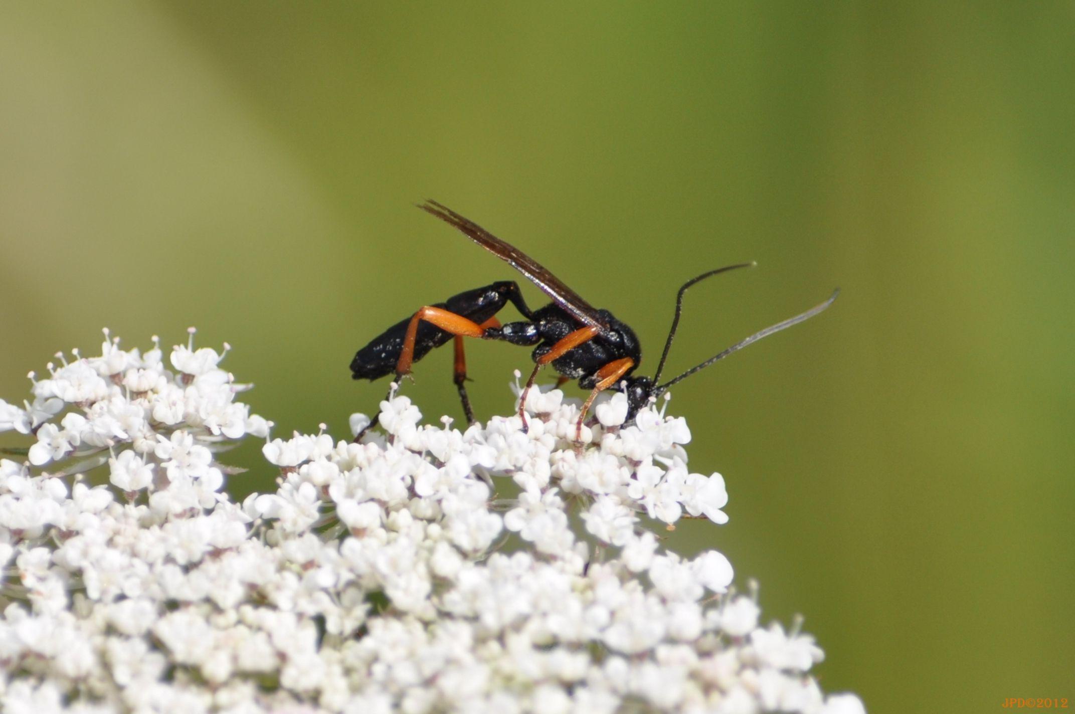 Esfécidos Sphaecidae Avispa solitaria