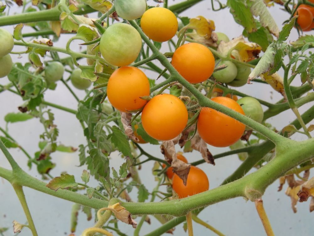 SunSugar Hybrid Tomato Seeds 100