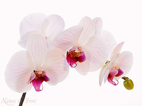 blumenbild auf leinwand oder kunstdruck zartrosa orchideen bl ten orchideen und exotische bl ten. Black Bedroom Furniture Sets. Home Design Ideas