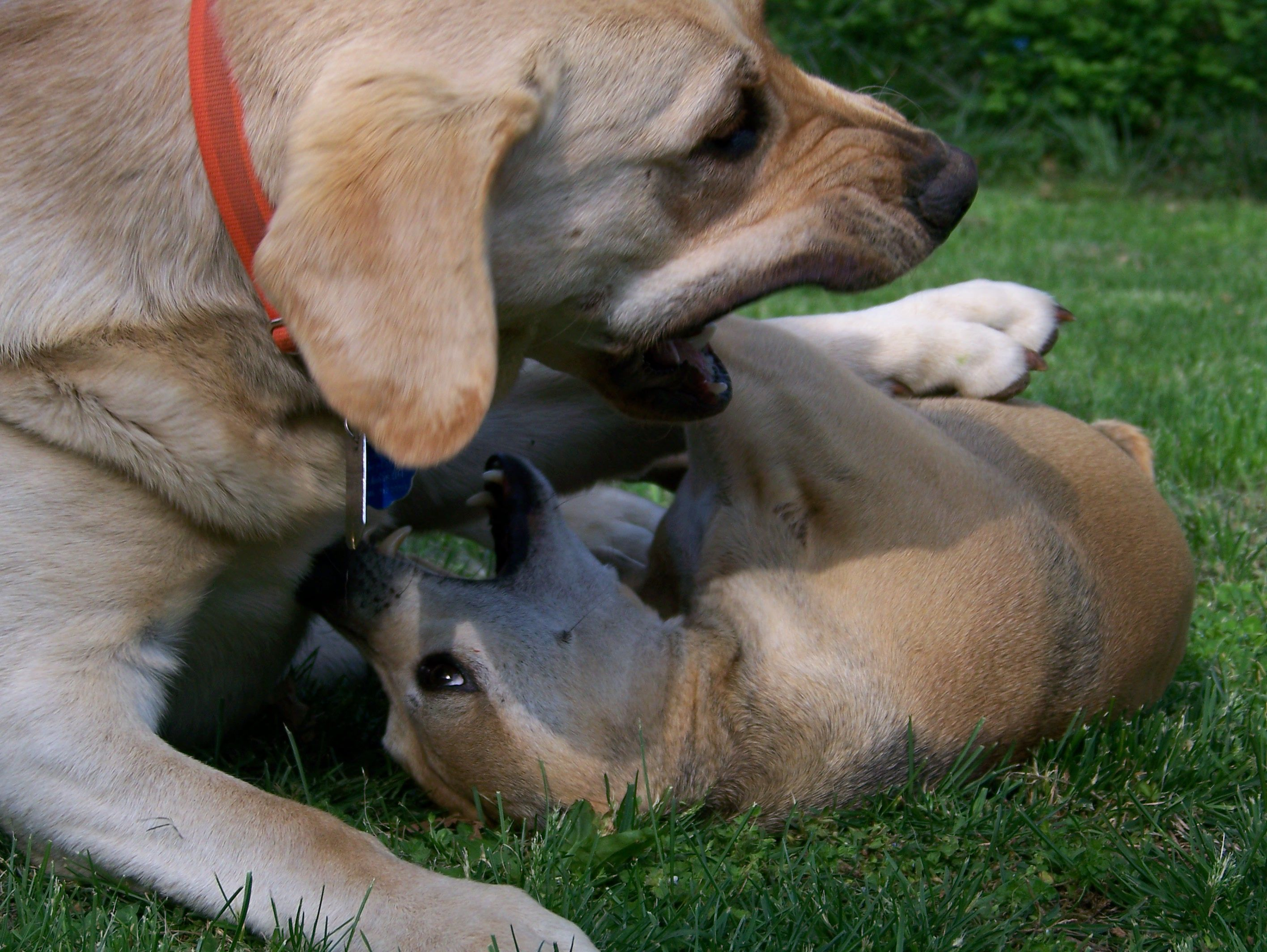 Bear playing with Harley.  He was so gentle with Harley.  whippet and lab