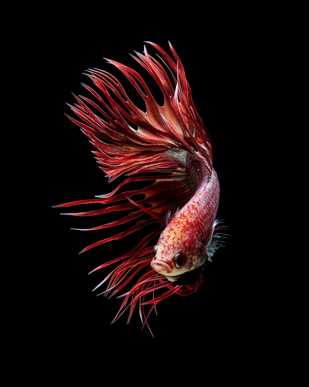 Wallpaper iphone cupang - Red Crowntail Betta Fish Siamese Fighting Fish On Black Background