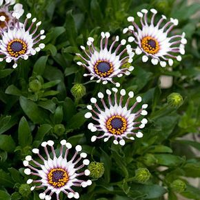 Osteospermum flower power spider white shows off an abundance of osteospermum flower power spider white shows off an abundance of daisy shape blooms with unique spoon shape petals it grows 14 inches tall zones 9 11 mightylinksfo