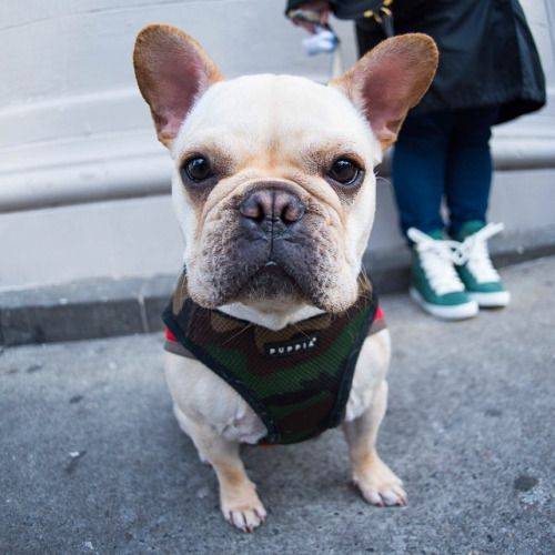 Bentley French Bulldog 14 M O Christopher Hudson St New