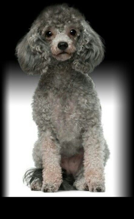 Toy Poodle Very Smart Little Grooming Dog Breed Selector Dog