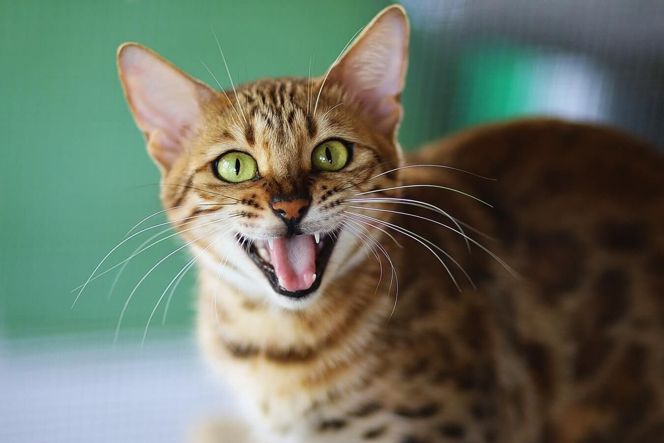 Do Cats Teeth? Cat yawning, Cats, Cats, kittens