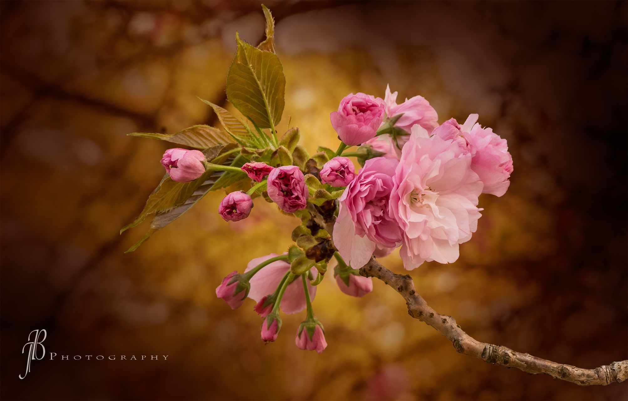 Kwanzan Cherry Blossoms by Joe  on 500px