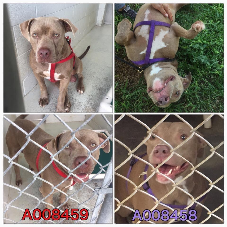 09 04 16 Super Urgent Rosenberg Tx Pets At Ft Bend Animal Control Dog Adoption Pet Adoption Animal Shelter